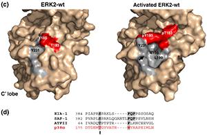 מבנה של Erk2