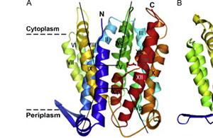 cytoplasm ו- periplasm