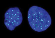 תא הפלואידי משמאל ותא דיפלואידי מימין