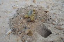 The desert isopod
